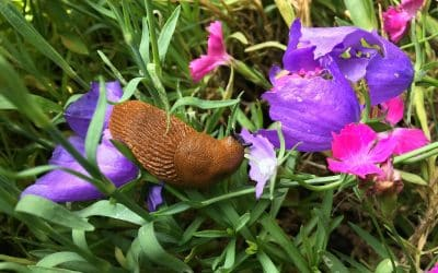 Get Rid of Slugs and Snails Naturally